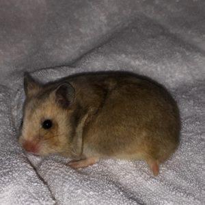 Meine Hamster – von den Elbpiraten